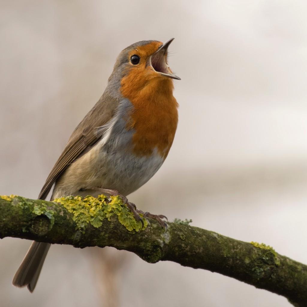 robin singing for spring neodruwid Jan Meeus